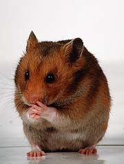 Revenge of the Hamster featured image